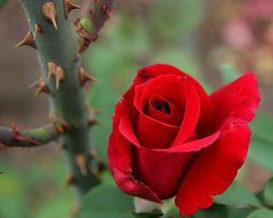 Gai có bông hồng hay bông hồng có gai